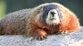 грызун : Close Up of Marmot with Big Teeth and Wiggling Nose Sits on Flat Rock Стоковые видеозаписи