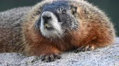 yellowstone : Close Up of Marmot Face Looking Around Stock Footage