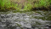 yellowstone : Fin Of Trout Swimming Up Stream