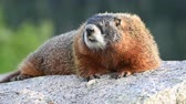 yellowstone : Fur Blows in the Wind of Marmot Close Up