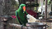 outstanding : A cute Psittacines or Parrot bird is eating rice crispy. Stock Footage