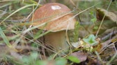 christchurch : The gifts of autumn. Boletus edulis
