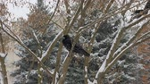 vrána : bird rook sits on a branch, snow drifts from the sky.