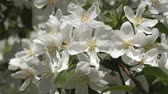 pilão : Blooming garden. Branches of fruit tree in spring. White flowers close-up. The color of the cherry.