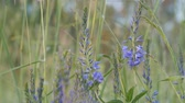 funda : Grass, blue flowers closeup