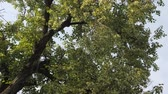 lipa : old lime-tree blossom. old linden flower swaying in the wind Wideo