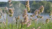 выполнения : Summer landscape. The buds are green grass sway amid the blue expanse of water. pollen flies from the flower with a gust of wind. Close-up