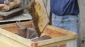 včelí vosk : beekeeper pulls out the frame with honey. beekeeper gets a frame with honey. fumigation machine for bees, smoke