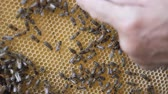 méhkas : Working bees work honeycomb with honey. human hand fingers indicates the location in the cell with honey.