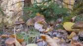 грибы : White fungus in the forest. Fabulous mushroom glade in the autumn season. Yellow leaf falls on korichnivuyu mushroom cap. camera in motion.