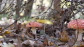 mushroom growing : mushroom mushroom in the forest. Incredible mushroom glade in the autumn season. Yellow Leaf. camera in motion. Stock Footage