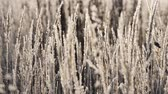 field ice : Dry grass in the snow. Panicles of dry grass shrouded in snowflakes against.