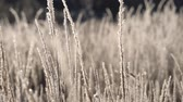 jinovatka : Dry grass in the snow. Panicles of dry grass shrouded in snowflakes against.