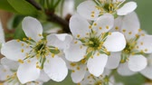 gomos : White flowers of sweet cherry in the spring. Berries sometimes blooms. Bud buds on a blurred background. The stamens of the flower fruit tree.