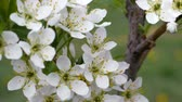 White flowers of sweet cherry in the spring. Berries sometimes blooms. Bud buds on a blurred background. The stamens of the flower fruit tree.
