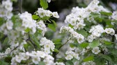 White flowers of hawthorn in spring.