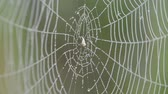 late spring : On the web hanging drops of dew. Stock Footage