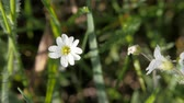 роса : White meadow flower on a blurred background of grass.