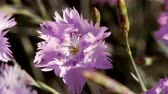 goździk : Blue carnation flower swaying in the wind. Clove flower of Chinese garden close up. Wideo