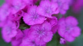 goździk : Dianthus barbatus. Purple carnation flower Turkish sways in the wind. Carnation flower close up.