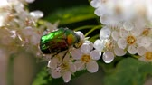 жук : Beetle on a white inflorescence in spring. Bronzovka Golden or June beetle crawls along the flower and collects nectar. Crataegus monogyna in spring. White inflorescences sway in the wind. Flowers of hawthorn in flowering periud.