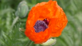 estame : Scarlet flowers sway in the wind. Flower poppy garden, Papaver. A genus of herbaceous plants of the poppy family. A bee crawls out between the leaves of a flower.