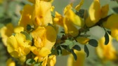 vassoura : Yellow broom flowers. Flower cytisus lotoides Pourr closeup.
