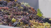 cachos : Collection of wine grapes. Bunches of grapes fall into the body. Black and green grapes in the tractor trailer. Vídeos