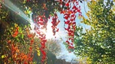 saman : autumn view, red leaves, blue sky and sunlight Stok Video