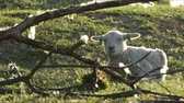 betail : 4K little lambs grazing in countryside. Vidéos Libres De Droits