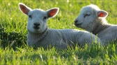 wolle : 4K little lambs grazing in countryside. Stock Footage