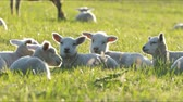 otlatmak : 4K sheep and little lambs grazing in countryside. Stok Video