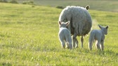 ovelha : 4K sheep and little lambs grazing in countryside. Stock Footage