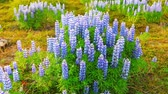 lupine : Typical Icelandic landscape with field of blooming lupine flowers.