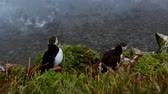 yetiştirme : Puffins on the rocks at latrabjarg Iceland.