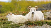 montone : Typical white sheep with lambs on pasture in Iceland