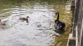 A black swan and some mallard ducks swimming in the River