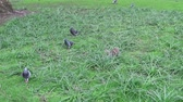 A Grey Squirrel foraging for food in the long grass being watched by three pigeons