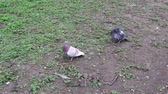 A pair of pigeons watching and waiting