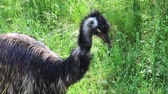 An EMU Standing by the long grass