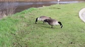 A pair of Canada Geese feeding