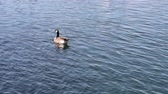 A Canada Goose floating on the water