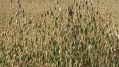 Close up of Oat crops waving gently in the breeze
