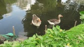 A pair of white fronted Geese swimming in the water