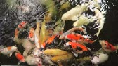 A shoal of various types of Koi Carp being fed