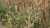 A field of Golden brown oat crops