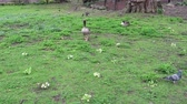 A Greylag Goose walking across the park surrounded by pigeons