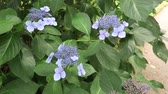 A scene showing the beautiful Hydrangea plant Dostupné videozáznamy