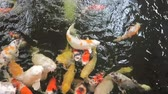 A pond full of Koi splashing about in the water