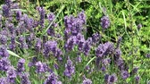 çalı : Close up of the purple flowering plant Lavender Stok Video